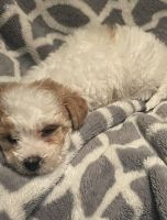 Maltipoo Puppies for sale in Rancho Cucamonga, CA, USA. price: NA