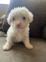 Maltipoo Puppies for sale in Bakersfield, CA, USA. price: NA