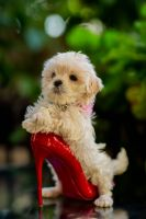 Maltipoo Puppies for sale in Roseville, CA, USA. price: NA