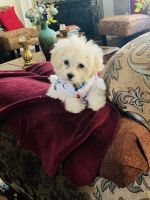 Maltipoo Puppies for sale in Gresham, OR 97080, USA. price: NA