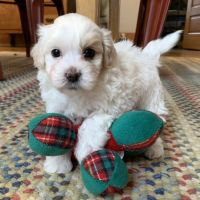 Maltipoo Puppies for sale in Fayetteville, NC, USA. price: NA