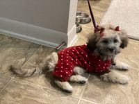 Maltipoo Puppies for sale in Bruce B Downs Blvd, Tampa, FL, USA. price: NA