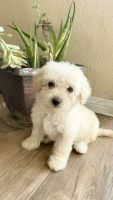 Maltipoo Puppies for sale in Riverside, CA, USA. price: NA