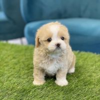 Maltipoo Puppies for sale in Temecula, CA, USA. price: NA