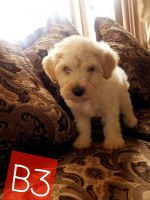 Maltipoo Puppies for sale in Huntington Park, CA 90255, USA. price: NA
