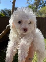 Maltipoo Puppies for sale in San Diego, CA 92119, USA. price: NA
