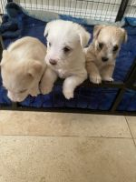 Maltipoo Puppies for sale in Pomona, CA, USA. price: NA
