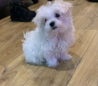 Maltipoo Puppies for sale in Washington, DC, USA. price: NA