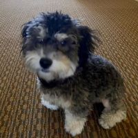 Maltipoo Puppies for sale in Dallas, TX, USA. price: NA