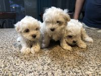 Maltipoo Puppies for sale in Gardena, CA, USA. price: NA