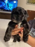 Maltipoo Puppies for sale in Shingle Springs, CA 95682, USA. price: NA