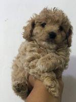 Maltipoo Puppies for sale in Phoenix, AZ, USA. price: NA
