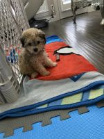 Maltipoo Puppies for sale in Sachse, TX 75048, USA. price: NA