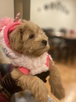 Maltipoo Puppies for sale in Brooklyn Park, MD 21225, USA. price: NA