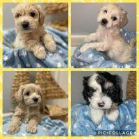 Maltipoo Puppies for sale in Cocoa, FL, USA. price: NA