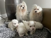 Maltipoo Puppies for sale in Port St. Lucie, FL, USA. price: NA