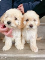 Maltipoo Puppies for sale in Chino Hills, CA, USA. price: NA