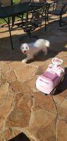 Maltipoo Puppies for sale in Smyrna, TN, USA. price: NA