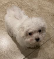 Maltipoo Puppies for sale in Spring, TX 77373, USA. price: NA
