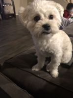Maltipoo Puppies for sale in Goodyear, AZ, USA. price: NA