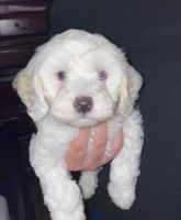 Maltipoo Puppies for sale in North Las Vegas, NV 89031, USA. price: NA