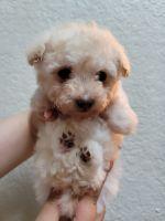 Maltipoo Puppies for sale in Modesto, CA, USA. price: NA