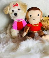 Maltipoo Puppies for sale in Houston, TX 77044, USA. price: NA