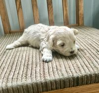 Maltipoo Puppies for sale in Odon, IN 47562, USA. price: NA