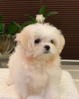 Maltipoo Puppies for sale in CA-1, Long Beach, CA, USA. price: NA