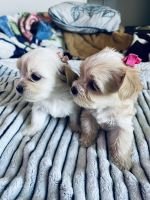 Maltipoo Puppies for sale in Palmdale, CA 93550, USA. price: NA