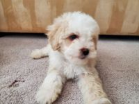 Maltipoo Puppies for sale in Palm Desert, CA, USA. price: NA