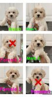 Maltipoo Puppies for sale in Camarillo, CA, USA. price: NA