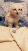 Maltipoo Puppies for sale in Kingsland, TX 78639, USA. price: NA