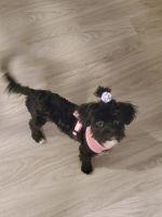 Maltipoo Puppies for sale in Savannah, GA, USA. price: NA