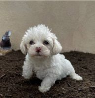 Maltipoo Puppies for sale in Carlsbad, CA 92008, USA. price: NA