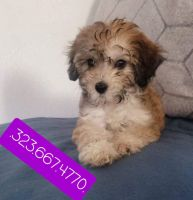 Maltipoo Puppies for sale in Huntington Park, CA 90255, USA. price: NA
