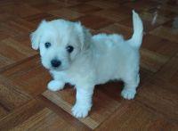 Maltipoo Puppies for sale in Encino, Los Angeles, CA, USA. price: NA