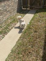 Maltipoo Puppies for sale in San Antonio, TX, USA. price: NA