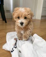 Maltipoo Puppies for sale in Atlanta, GA, USA. price: NA