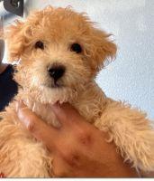 Maltipoo Puppies for sale in Tulare, CA 93274, USA. price: NA