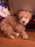Maltipoo Puppies for sale in Bronx, NY, USA. price: NA