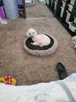 Maltipoo Puppies for sale in La Mirada, CA, USA. price: NA