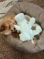 Maltipoo Puppies for sale in Chicago, IL, USA. price: NA