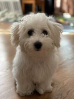 Maltipoo Puppies for sale in Brooklyn, NY 11228, USA. price: NA