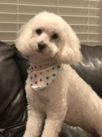 Maltipoo Puppies for sale in Houston, TX, USA. price: NA