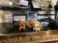 Maltipoo Puppies for sale in Lynn, MA, USA. price: NA