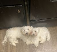 Maltipoo Puppies for sale in Longview, TX, USA. price: NA