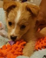 Maltipoo Puppies for sale in Oakland, CA, USA. price: NA