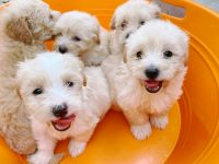 Maltipoo Puppies for sale in West Covina, CA, USA. price: NA