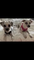 Maltipoo Puppies for sale in Herndon, VA 20170, USA. price: NA